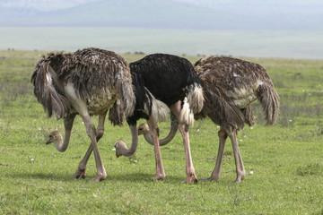 Strutsar i Ngorongoro