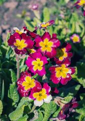 Primrose - Primula flowers