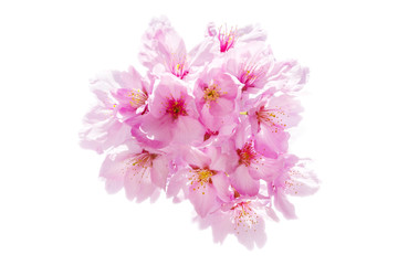 Sakura Flower Isolated/ Sakura Flower, Cherry Blossom, Japanese Flower Isolated on White Background