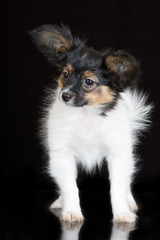 adorable papillon puppy on black