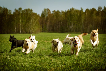 large group of dogs Golden retrievers running