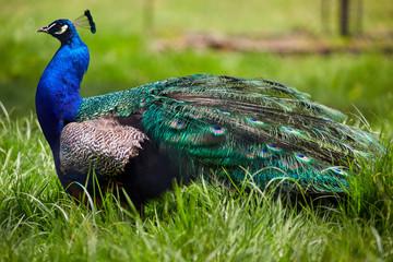 Beautiful peacock in grass