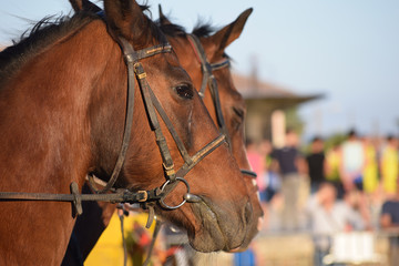 Beautiful horse profile portrait during an equestrian event