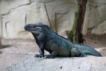 Horned Iguana 2