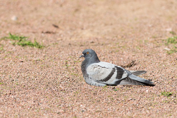 pigeon resting on the ground