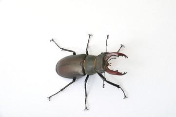 Stag beetle -
