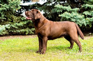 Labrador Chocolate looks. Labrador Retriever is on the green grass.