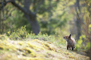 A fox cub in the forest.