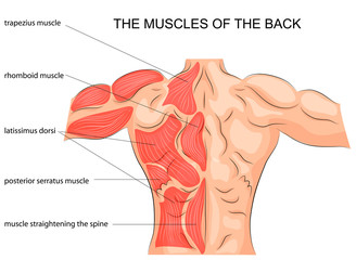 the muscles of the back. bodybuilder.
