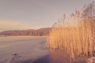 Frozen lake with tall reeds