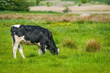 Holstein Friesian cow on a field in Denmark