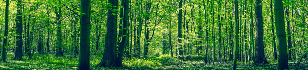 Photo sur Plexiglas Forets Green forest panorama scenery