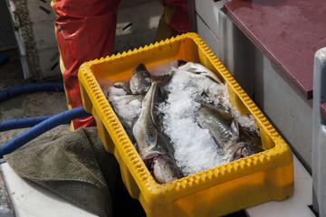 Fangfrischer Dorsch aus der Ostsee