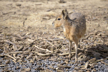 Patagonian mara (Dolichotis patagonum) standing on gravel