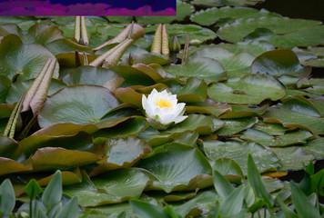 Białe kwiaty lotosu