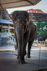 Portrait of elephant in Thailand, Asia