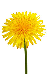 The yellow flower of a dandelion close up