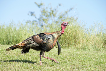 Female wild turkey walking in grass