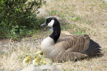 Female, mother Canada goose, scientific name Branta canadensis, with goslings resting on brown grass
