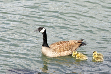Female, mother Canada goose, scientific name Branta canadensis, swimming with her goslings in the Bay