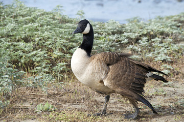 Canada goose, scientific name Branta canadensis, with a broken left wing. Birds have hallow bones, and they heal quickly, so broken wings not set properly render the bird flightless for life.