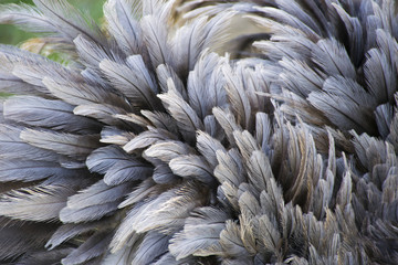 Ostrich Bird Feather Close-up