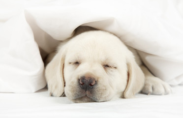Labrador puppy sleeping in a bed