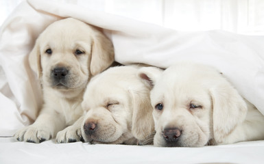 Labrador puppies lying in a bed