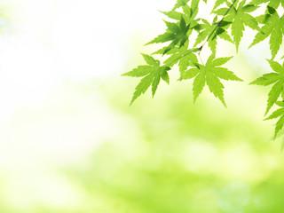 Fototapete - 新緑のカエデ