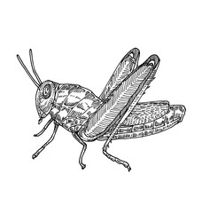 Grasshopper. Hand drawn illustration.