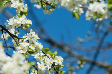 Flowering plum tree against the blue sky