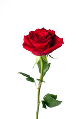 red rose upright