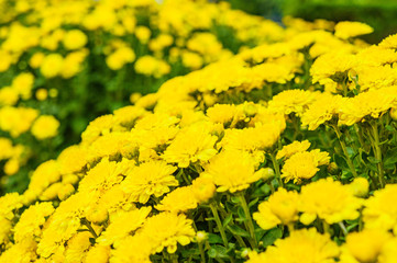 Field of yellow chrysanthemums, large bouquets