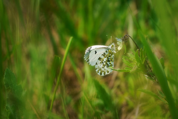 Orange tip (Anthocharis cardamines) female, butterfly