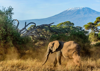 Elephant in Kenya with Kilimanjaro mount in the background, Afr
