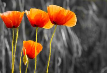 Fototapeta Maki polne-kwiaty,kolor selektywny
