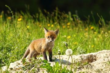 cute red fox cub looking at camera