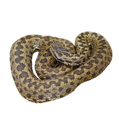 isolated european meadow adder