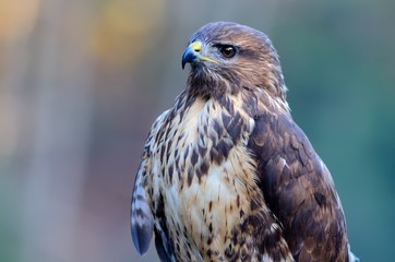 Buzzard portrait Common Buzzard / Buteo buteo