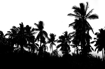 palm trees black white