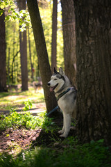Siberian husky sitting in the shade of a tree