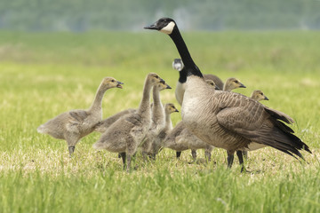 Canadian goose chicks and family