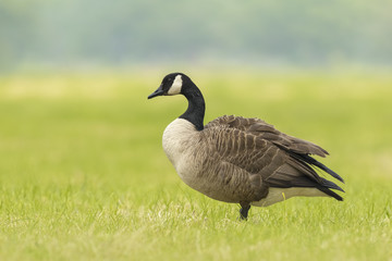 Canadian goose in a meadow