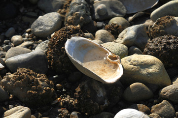 Close up of a open empty shell with water in it, resting on rocks