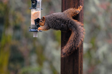 A Fox Squirrel stealing seeds from a bird feeder in the rain.