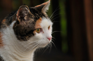 Calico cat looking off to the right