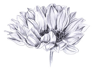 Sunflower in bloom, hand drawn on white background