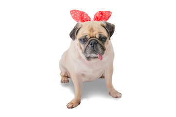 Cute dog puppy pug in rabbit ears on white background