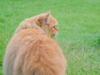 Persia cat in meadow green grass, in thailand