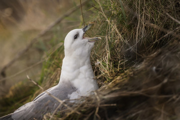 Fulmar, Fulmarus glacialis, sitting on cliffside nest